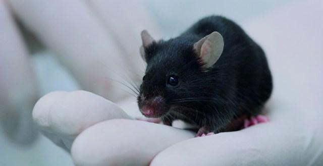 Mustan värinen hiiri ihmisen kämmenellä. Ihmisellä on kädessään suojahansikkaat.