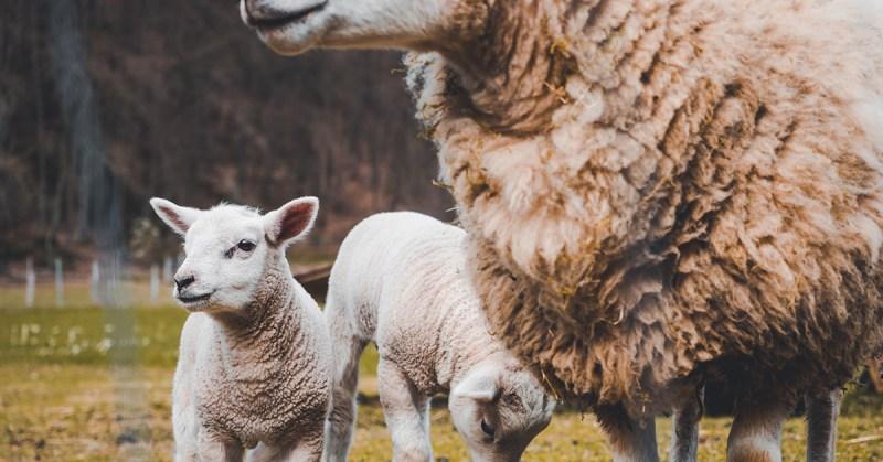 Eläinetiikka ja empatian variaatioita. Kuvassa kaksi karitsaa ulkona.