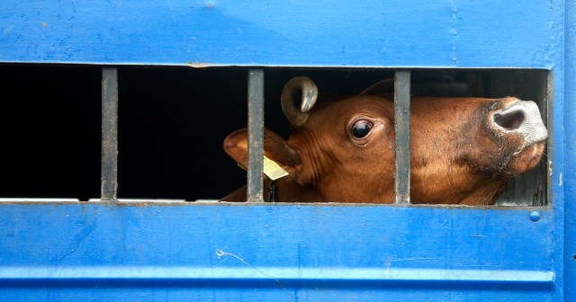 A scared cow looks out of an opening in the side of a transport truck.