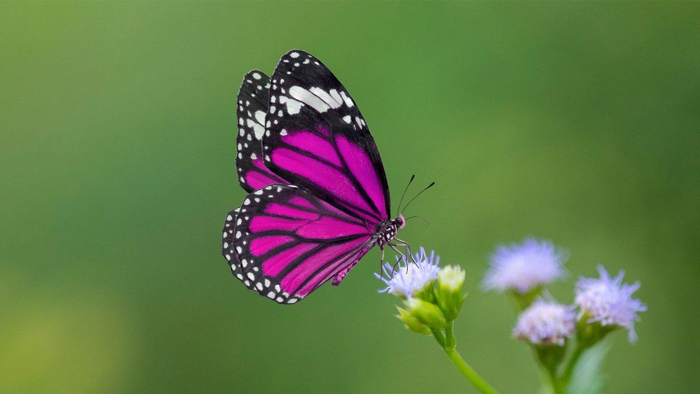 Farfalle come presagi - i loro colori e significati - Animali Feed
