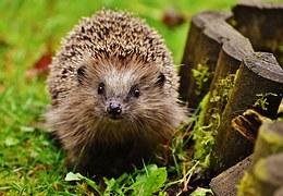 hedgehog endangered mrs tiggywinkle garden autumn prickles
