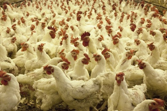 poultry farm factory farm white chickens crowded