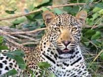 leopard-1036455_960_720