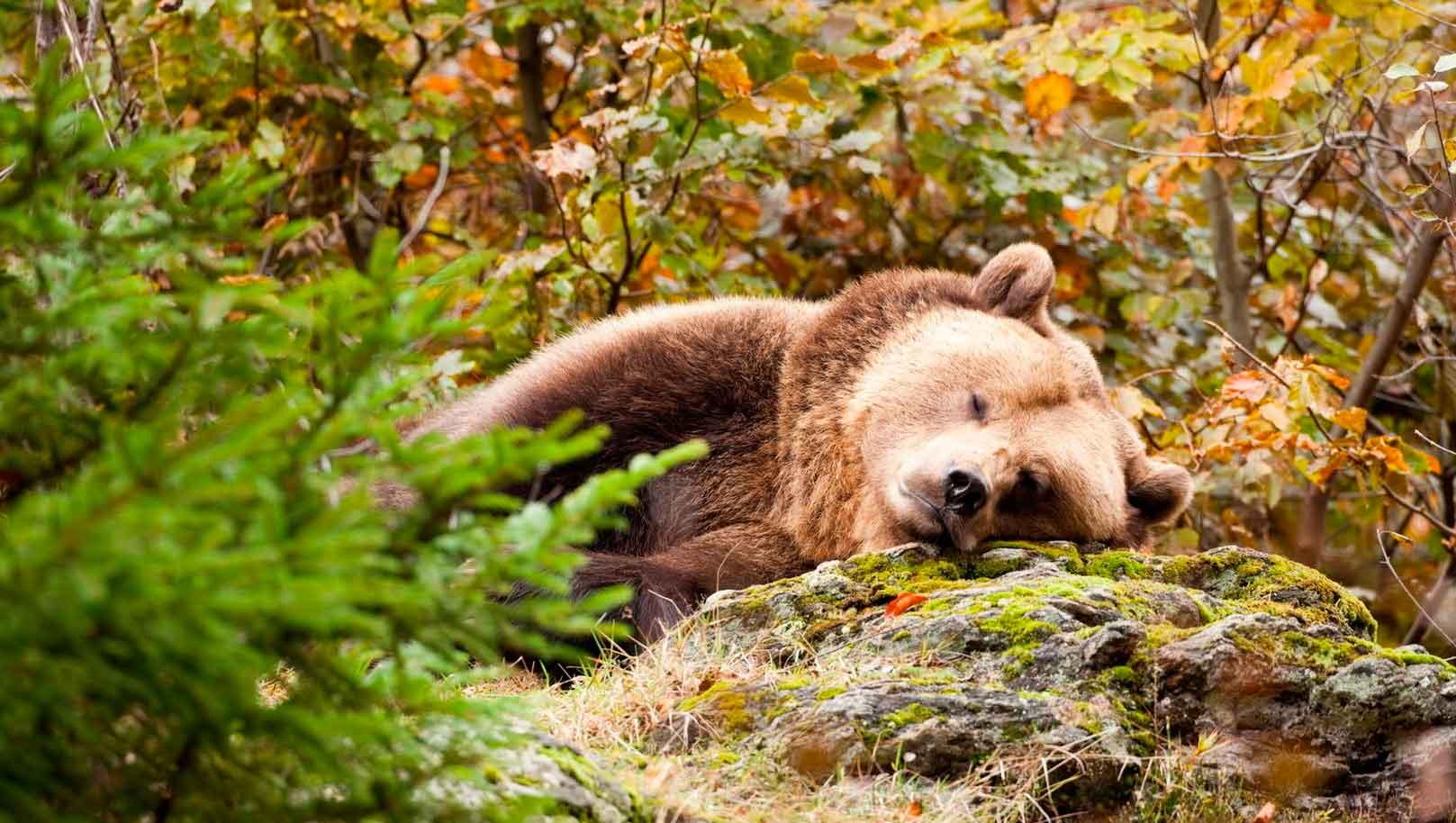 Зимняя спячка медведя