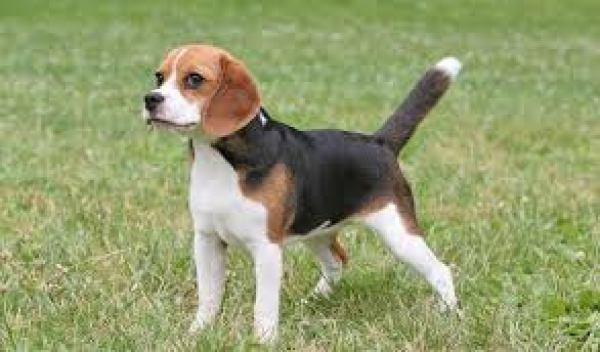 かわいい小型犬の人気ランキング45選 マンションでも飼いやすいペット犬のまとめ アニマルライブラリー 可愛い