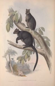 Arboreal Macropodidae
