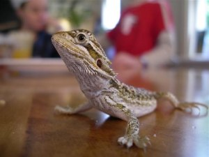Bearded Dragons at a Glance