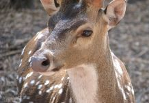 Types of Deer: A Deer Species Guide