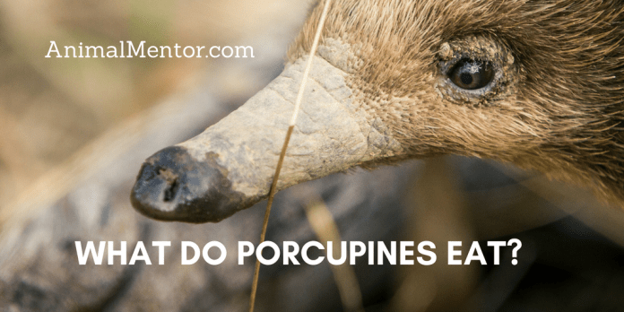 What do Porcupines Eat?