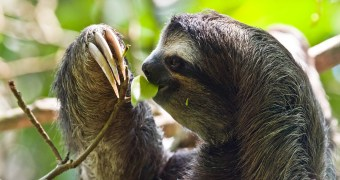 Are Sloths Endangered?