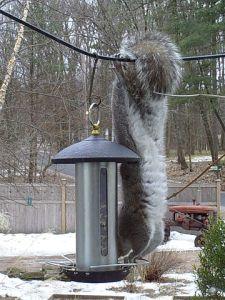 Squirrel at Bird Feeder