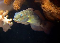 dragon goby