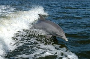 Common bottlenose dolphin (Tursiops truncates)