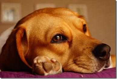 Un chien au doux regard, la tête appuyée sur sa patte.
