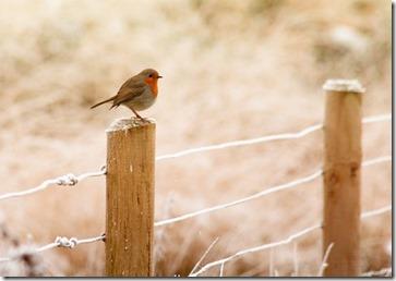 Un rouge-gorge sur un poteau givré en hiver