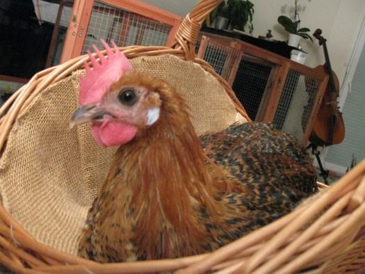 Jeune coq dans unn panier