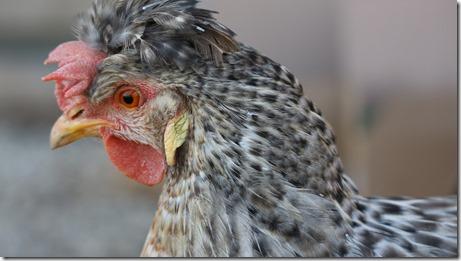 La poule Kalicotte - Cream legbar
