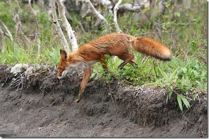 fox-2514542__340