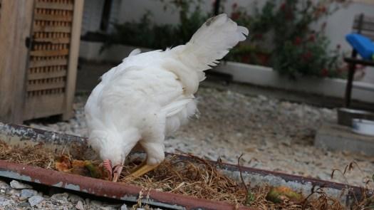 Barney, le coq de Poulehouse