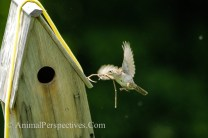 House Wren Building a Nest. Image Credit: Animal Perspectives.
