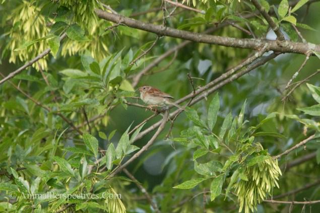 Field sparrow (Spizella pusilla)