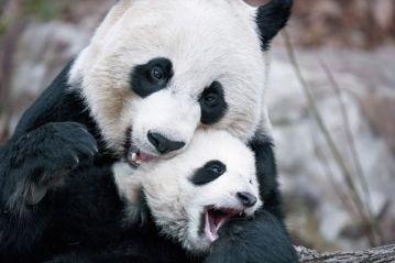 mother-baby-pandas_52364_600x450