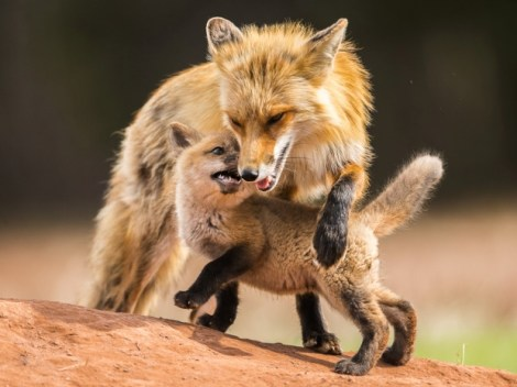 murray-watched-the-mother-put-her-cubs-first-often-going-hungry-so-they-could-eat