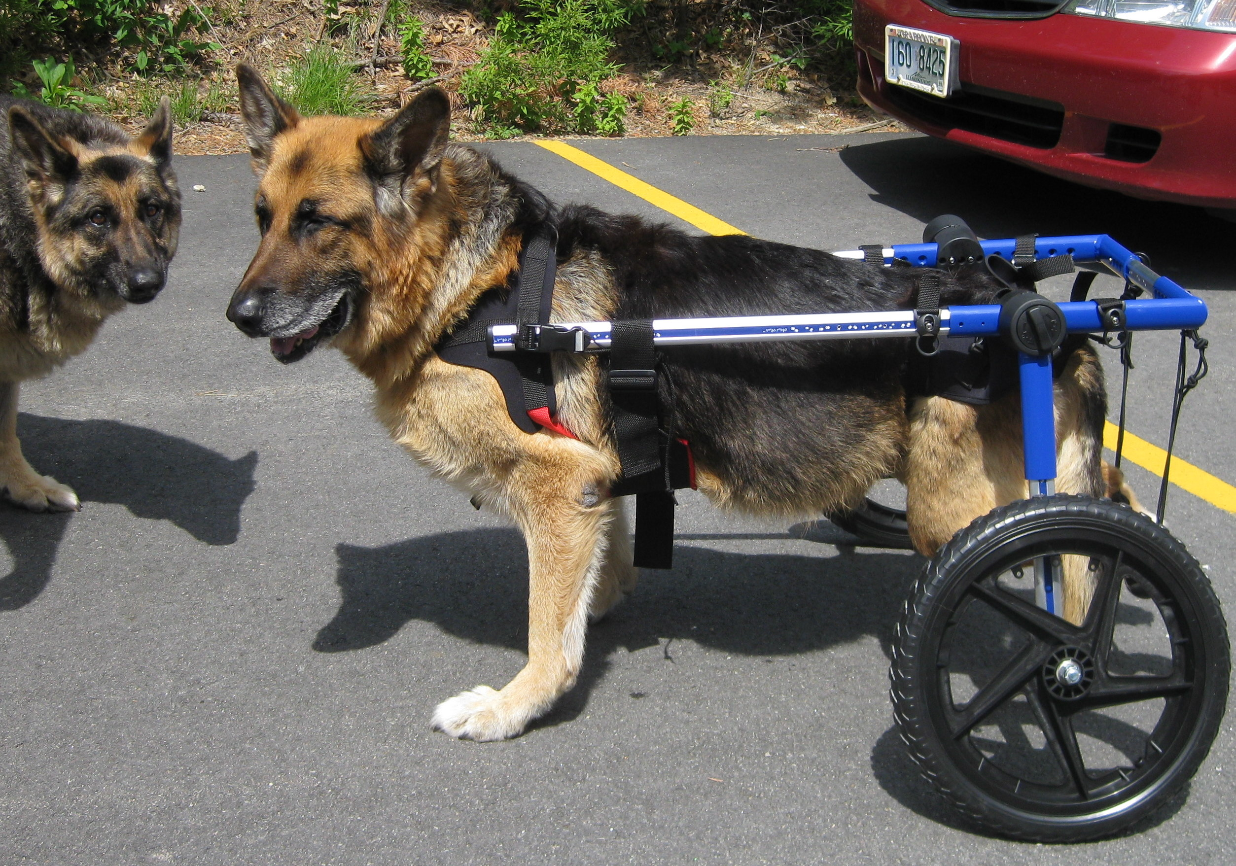 wheel chairs for dogs target patio sling folding chair wheelchairs when should you consider one welcome to the some considerations is a wheelchair right and your dog