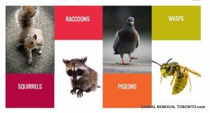 animal removal toronto