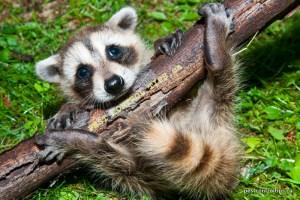 Animal Removal Toronto - Raccoon Removal Toronto