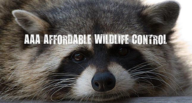 Raccoon Control & Removal Near Scarborough, Animal Removal Scarborough, Affordable Raccoon Removal Service.