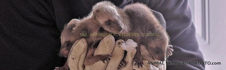 Raccoon Control & Removal Scarborough, Animal Removal Scarborough, Affordable Wildlife Control