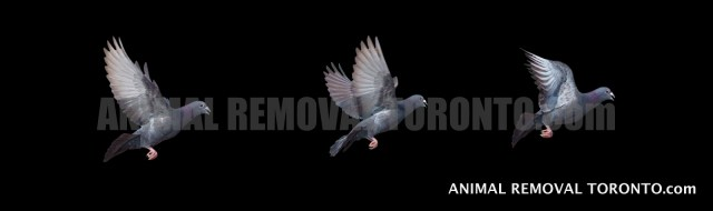 Pigeon Control and Bird Nest Removal Brampton Service
