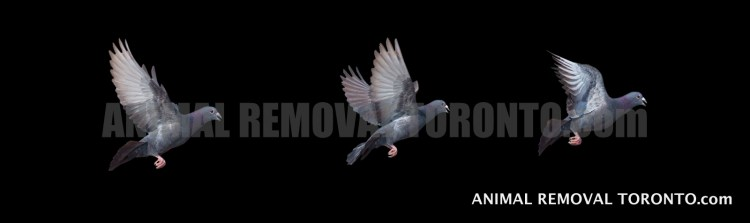 Pigeon Control andBird NestRemoval Brampton Service