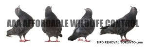 Bird Removal Toronto - AAA Affordable Wildlife Control