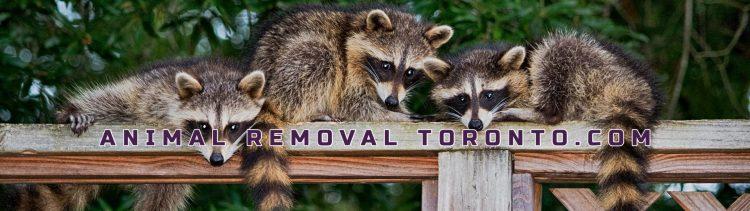 Animal Removal Toronto, Animal Removal, Animal Removal Services, Animal Extraction Toronto, Animal Eviction Toronto, Animal Control Toronto,