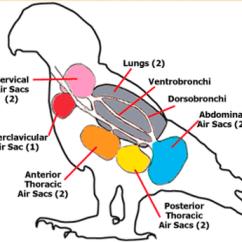 Avian Anatomy Diagram Labeled Ez Go Txt Battery Eagle - Animal Respiration