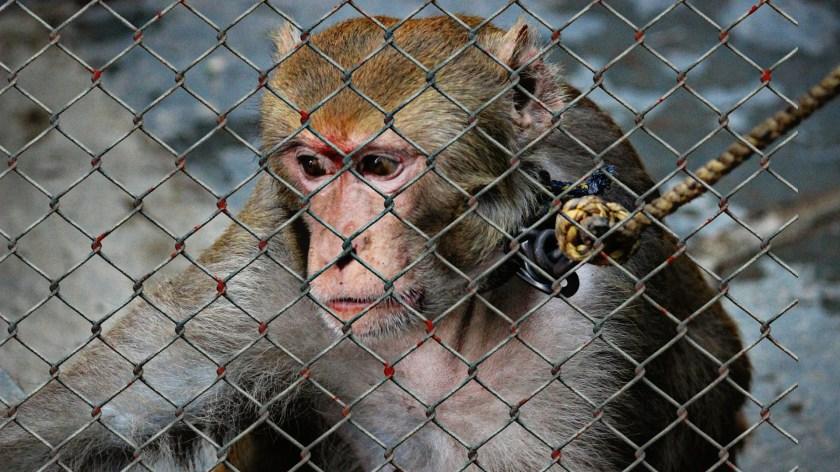 monkey, cage,