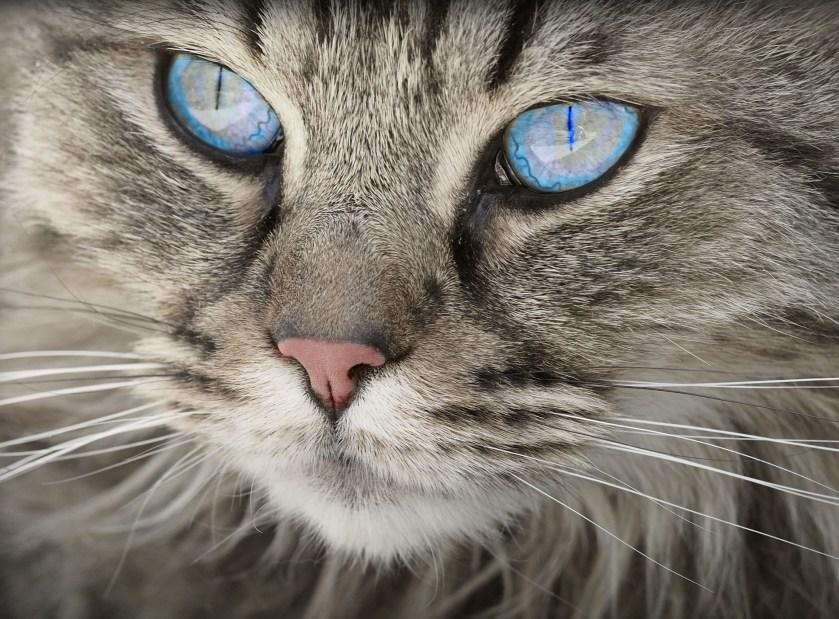 Cat, face, eyes