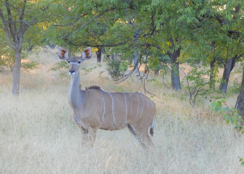 Kudu antelope, big game hunting
