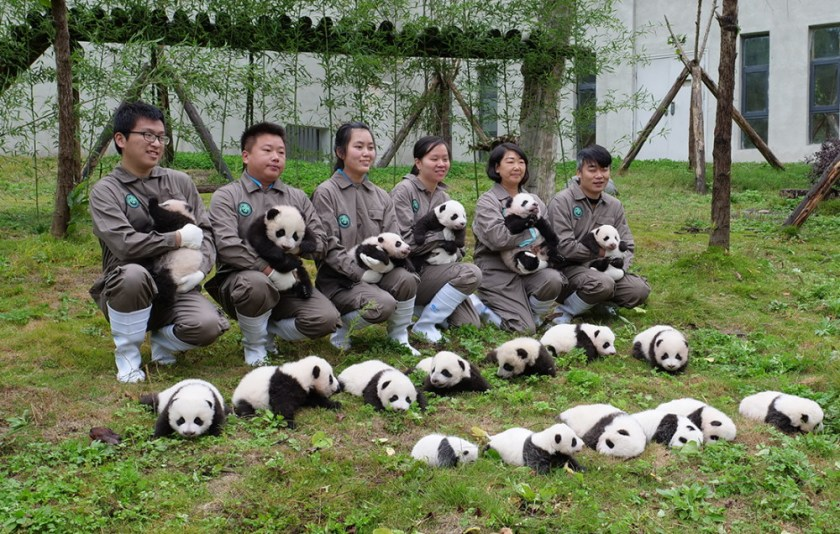 Giant panda cubs lined up in China breeding centre