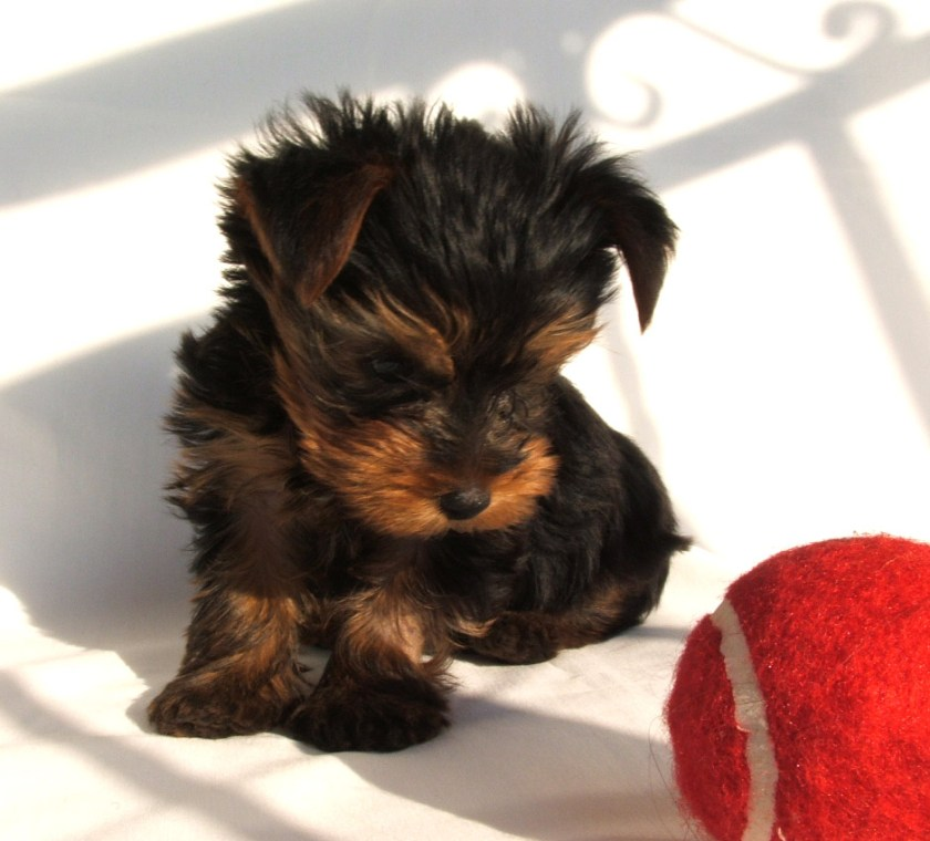 Yorkshire Terrier puppy, desirable breed