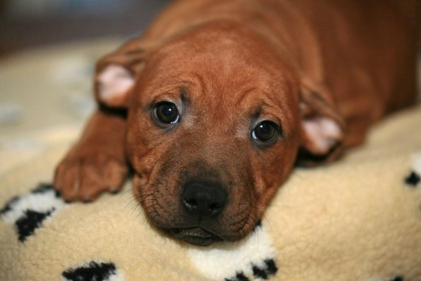 Staffie, puppy, Staffordshire Bull Terrier