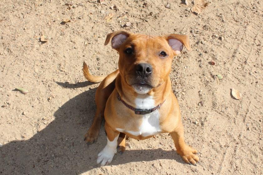 Staffie, Staffordshire Bull Terrier, puppy