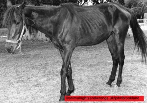 Starving horse from Hobby Horse Hall racetrack, Bahamas