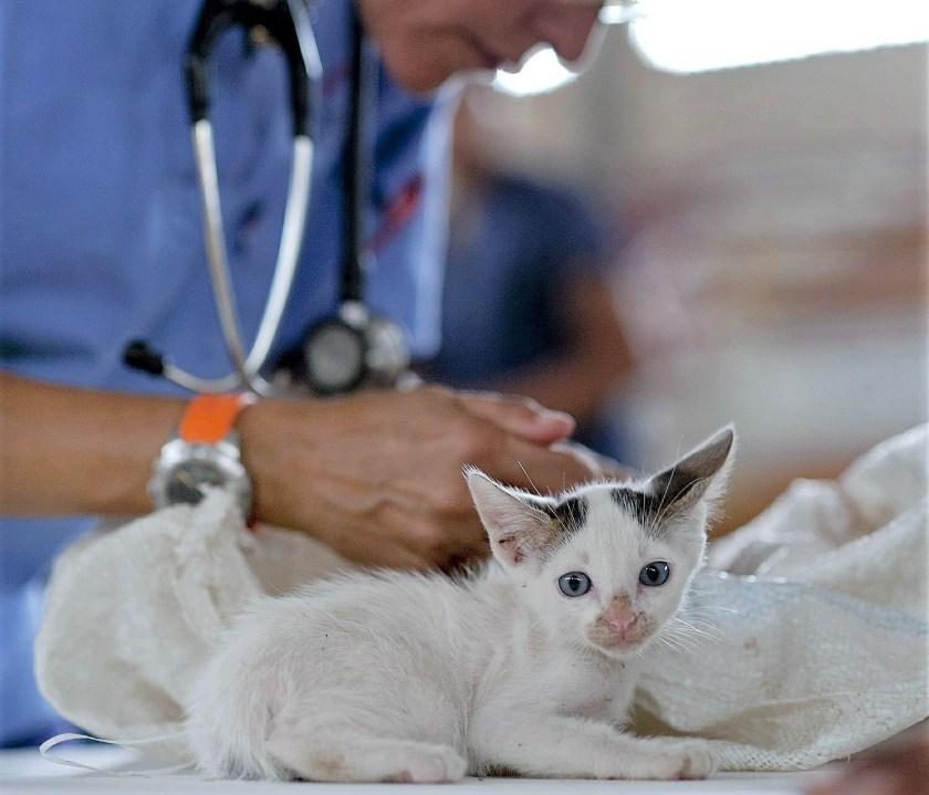 vet, kitten, examining, vet surgery, veterinarian, veterinary surgeon