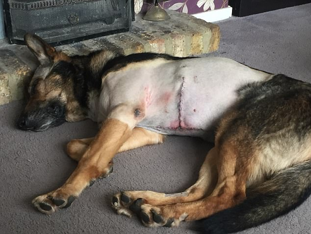 Injured German Shepherd with stab wounds.