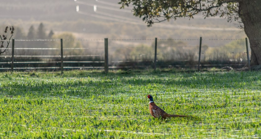 Pheasant in countryside