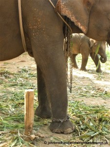 elephant, cruelty to elephants, chained elephant, animalrightsandwrongs.uk
