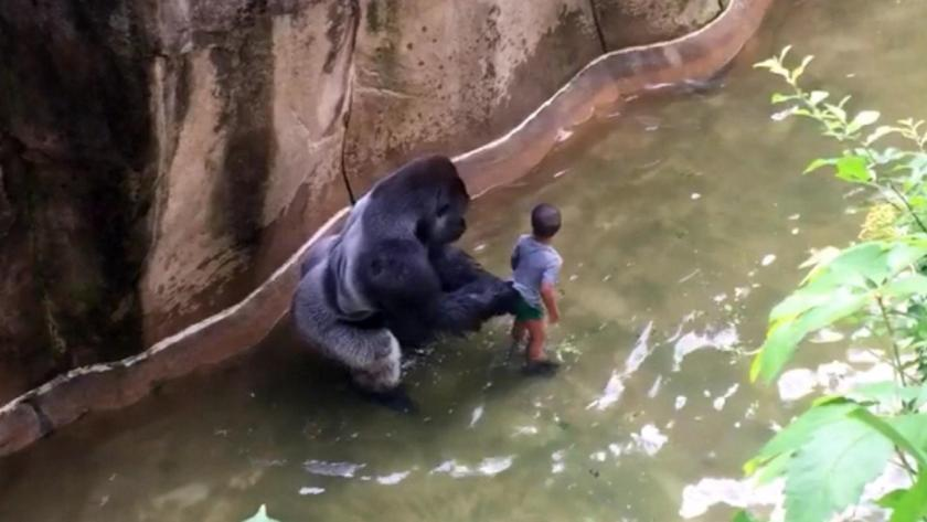 Harambe gorilla with child in moat Cincinnati zoo